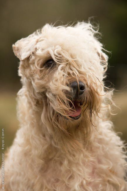 Irish Soft Coated Wheaten Terrier - trying to let Riley 's fur to grow like this
