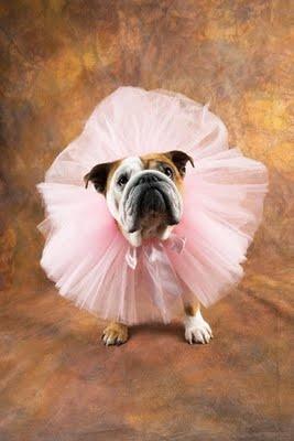 Ballet bulldoggy