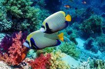 9 Reef Safe Fish for Saltwater Aquariums: Angelfish (Centropyge)