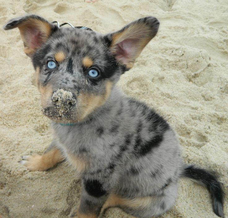 : Dogs Photography, Husky Mix, Australian Shepherd Puppies, Dogs Brd, Animalsss ️, Husky Australian Shepherd, Friend, Mix Puppies, Dream Dogs