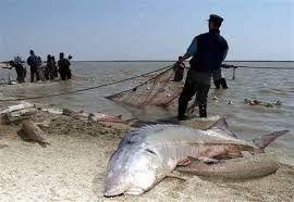 iranian beluga sturgeon