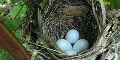 Four very pale blue eggs in a grey-coloured, deep nest of leaves and twigs, swirled, suspended amid green leaves