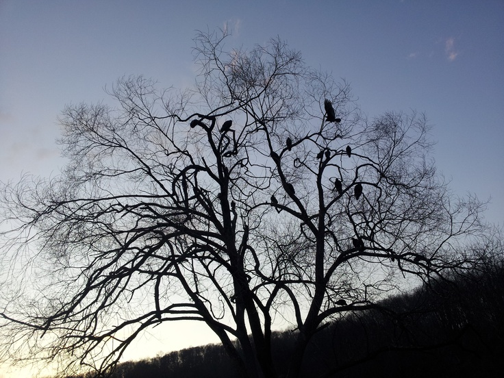 Turkey Vultures turning in for the night? Tell Vardaman.
