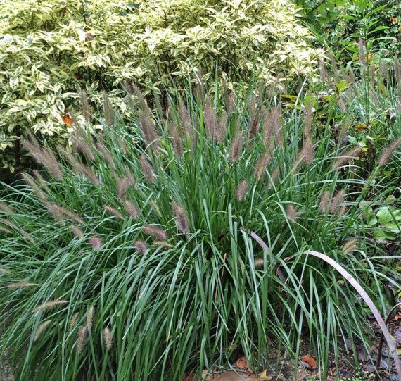 30 best transfers images on pinterest ornamental grasses 5 black fountain grass five pennisetum alopecuroides moudry perennial plants by hope springs nursery workwithnaturefo