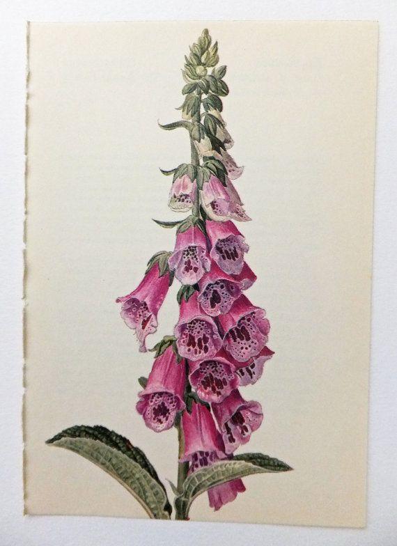 Foxglove, Digitalis. Foxglove Family. Pink Flower.  Vintage Flower Picture. Botanical Print. Blossoms, Housewares, Supplies on Etsy, £4.00