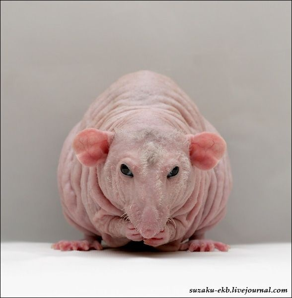 13 best images about Naked Mole Rats!!! on Pinterest | Football ...