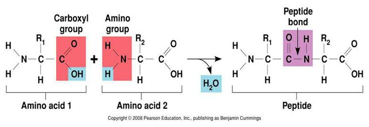 Peptide bonds between amino acids.
