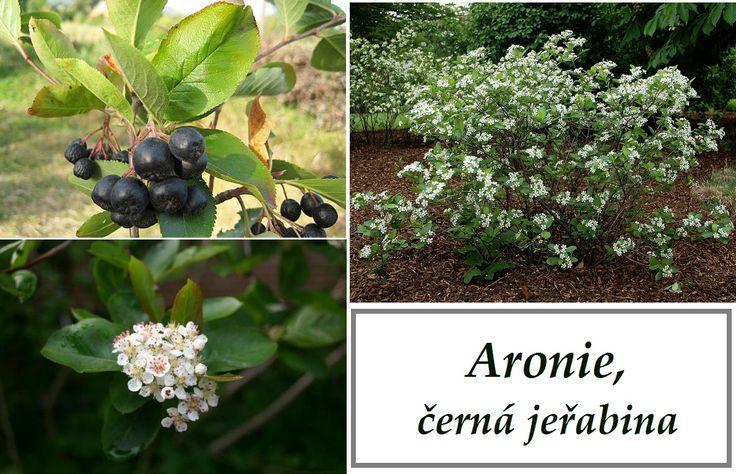 aronie-temnoplodec-cerna-jerabina-ucinky-na-zdravi-co-leci-pouziti-uzivani-vyuziti
