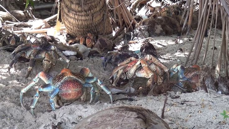 coconut crabs at  Christmas Island | Dolphin Swimming in the sea