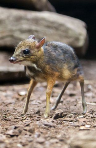 Weird But Adorable: Cute Baby Mouse Deer Explores World For The First Time - Yahoo News UK