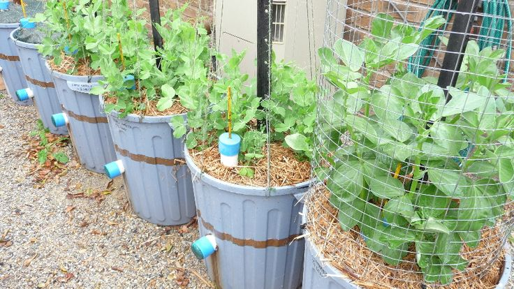 July 2015.....Peas and beans being grown in Ecobins.  Its mid winter and they are coming along well.  In 6 weeks it will be spring and they should be ready for harvest.  http://jas49580.blogspot.com.au/2015/07/its-time-to-harvest-green-manure-as.html
