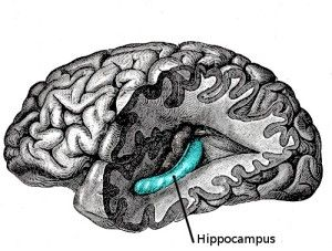 Cell Transplants Could be a Novel Treatment for Schizophrenia - Researchers discovered that transplanting stem cells into the hippocampus of rats restored functions that are abnormal in schizophrenia. This image shows the location of the hippocampus in the brain.