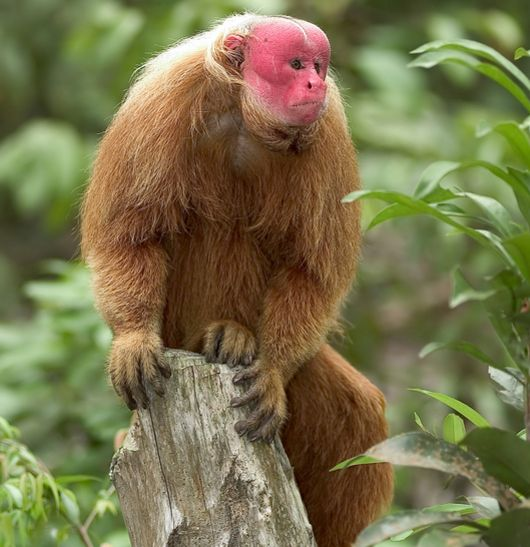 Red Uakari monkey. I don't have a lot of New World monkeys and I think this is a New World monkey.