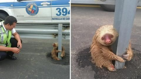 Adorable Sloth Rescued While Clinging to Highway Guardrail