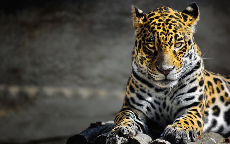 17 Best Ideas About Jaguar Animal On Pinterest