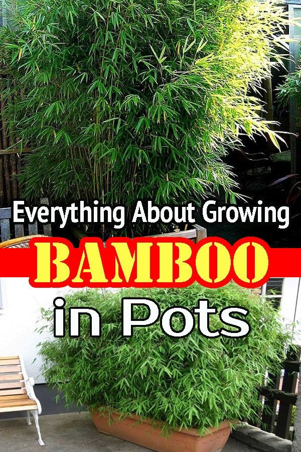 Everything About Growing Bamboo In Pots, How To Care For Outdoor Bamboo Plants