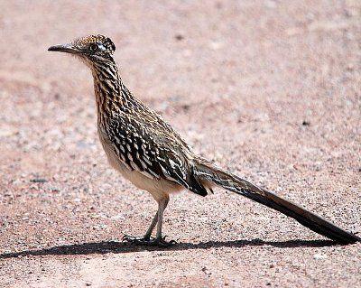 "Greater Roadrunner Bird - Facts about Greater roadrunner bird. ""Scientific name for Greater roadrunner bird is Geococcyx californianus"". Greater roadrunner i"