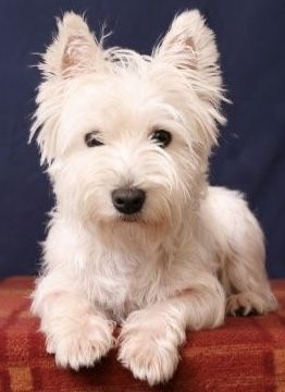 Pin By Becky Frazier Sheppard On Critters In 2020 Westie Dogs