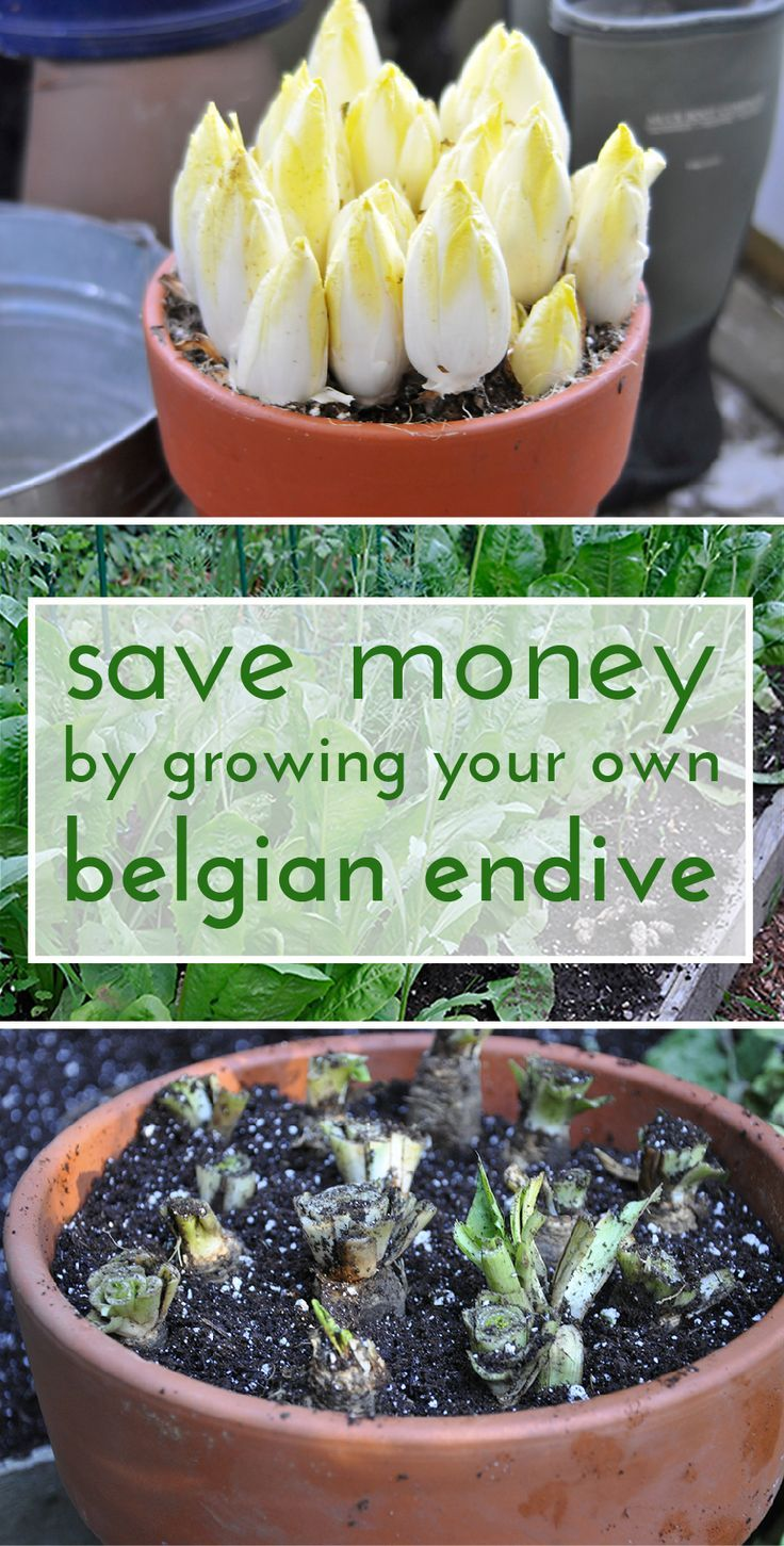 Belgian endives are great for winter salads and are an easy vegetable to grow, especially for a lazy gardener! www.ehow.com/...