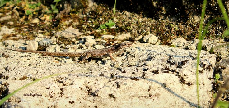 Lizard by msitarus on Etsy