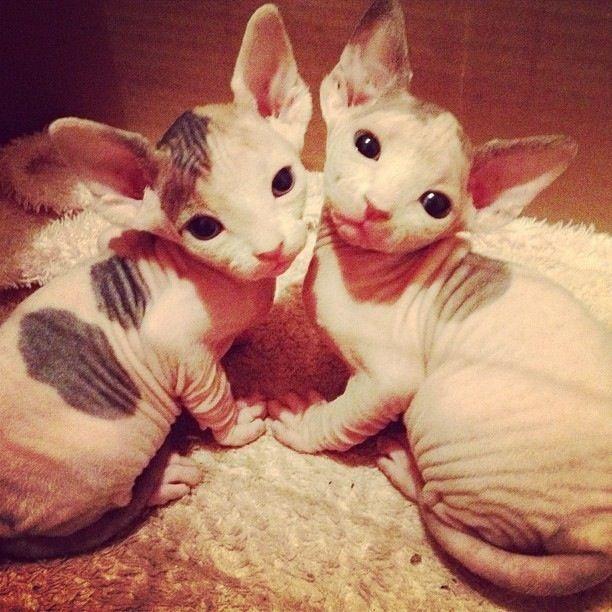 Gatos sphynx ojos azul disponibles