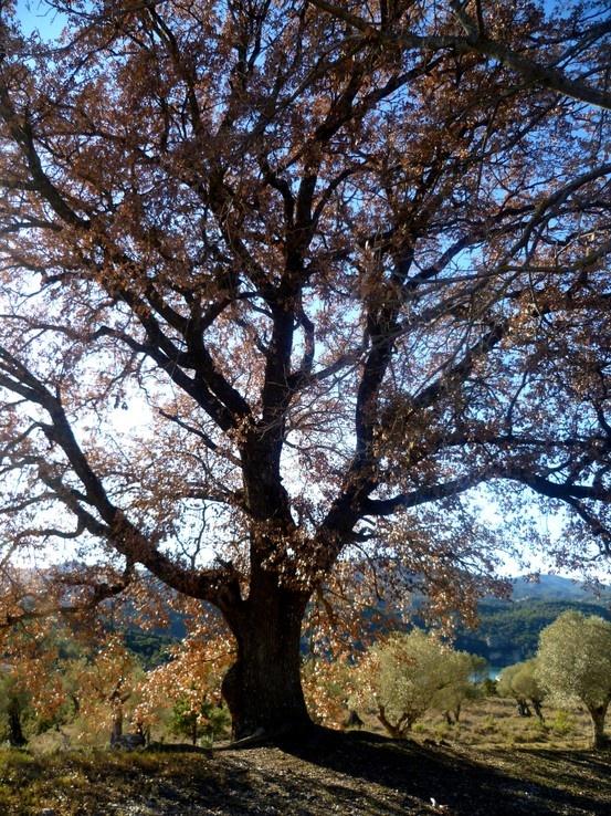 Hermoso ejemplar de Roble en Puy de Cinca (Huesca)