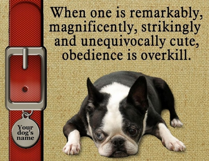 Wish the dog was cuter, but this is def. a true statement for Bostons.  They can be so stubborn!!!
