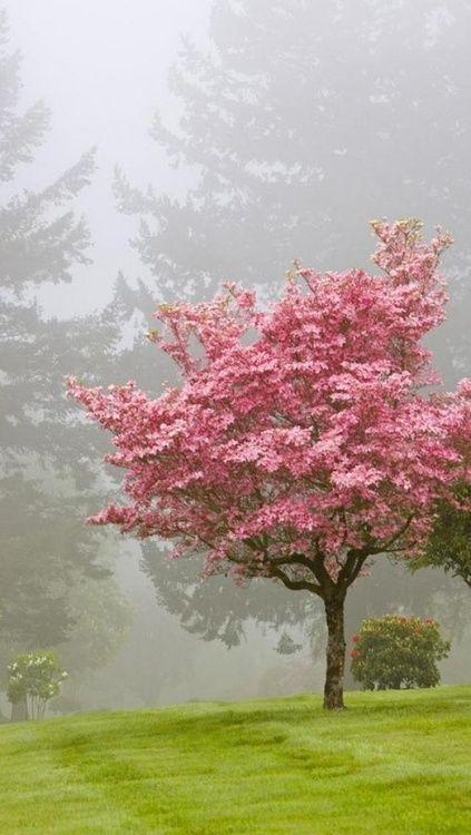 Árbol rosa entre niebla