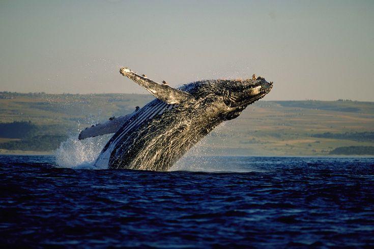 Just off the coast near Gansbaai... http://www.perfecthideaways.co.za/ #capetown #whales