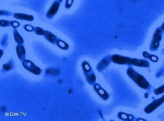 Malaria virus