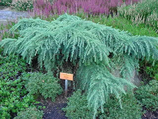 Cedrus deodara 'Feelin Blue', photo by Porterhowse Farms Nursery (www.porterhowse.com), taken in Adrian Bloom's garden, Foggy Bottom, in England.  This prostrate Cedar, typically listed as 2' h x 6' w, looks stunning in plant compositions.  Pair it, for example, with rich green small leaf, such as dwarf Cotoneaster or dwarf Ilex crenata.  --Alyse