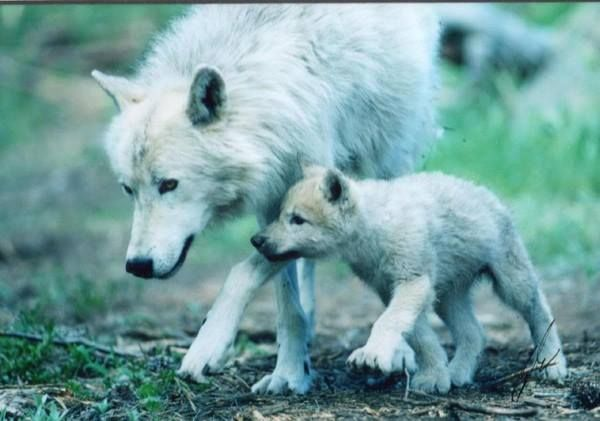 Wolf Mother and Pup                                                                                                                                                                                 More