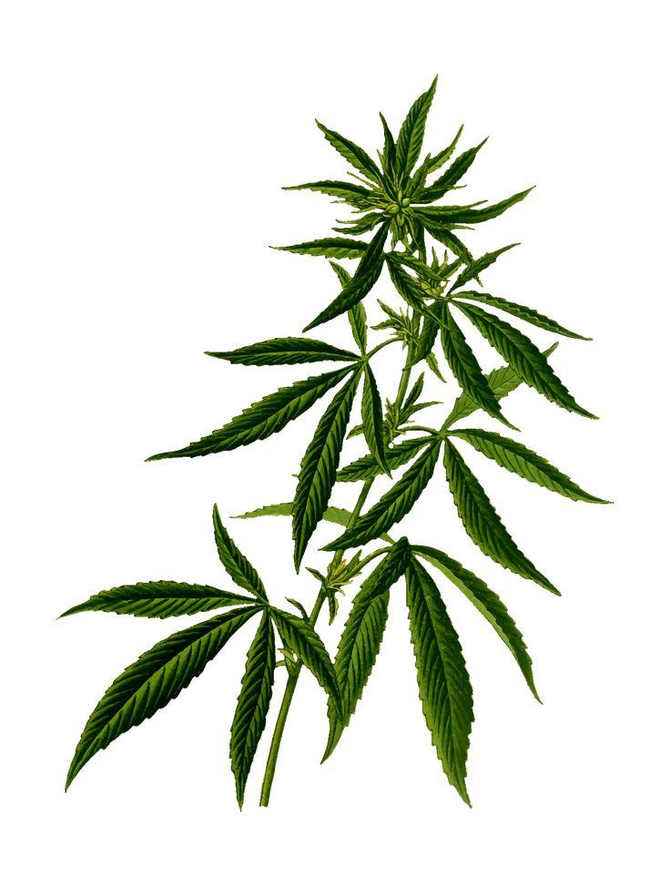 Cannabis Drug Hash Hashish Hemp transparent image