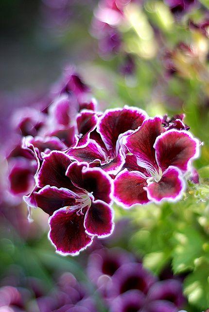 Gorgeous gloxinia!