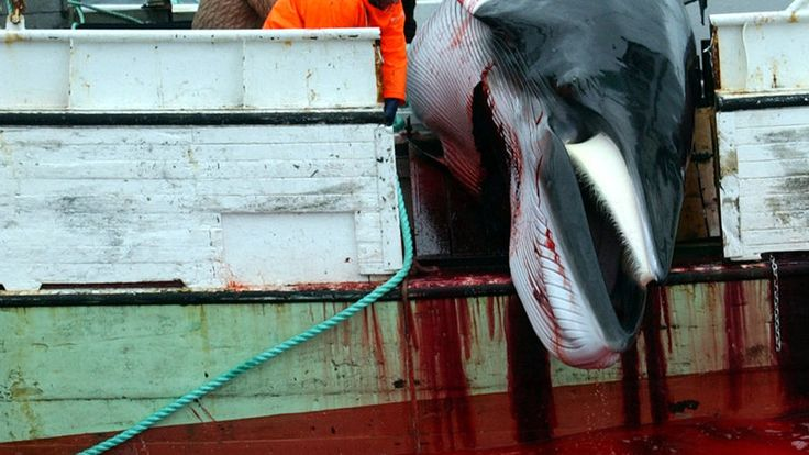 Petition · Greenpeace USA: Stop Whaling! · Change.org