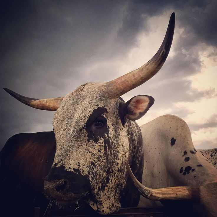 Nguni bull dark sunset