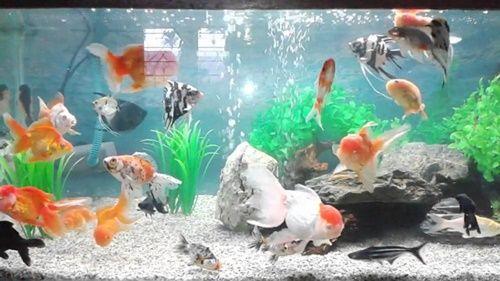 MancingMania.XYZ – Kumpulan aneka jenis ikan hias air tawar paling populer untuk aquarium. Memelihara berbagai macam ikan jenis ikan hias dirumah dengan menggunakan sarana sebuah akuarium ataupun kolam bisa menjadi hiburan tersendiri untuk kita. Selain hati bisa merasa senang melihat tingkah laku ikan, dapat juga menghilangkan kejenuhan setelah seharian penuh beraktivitas.