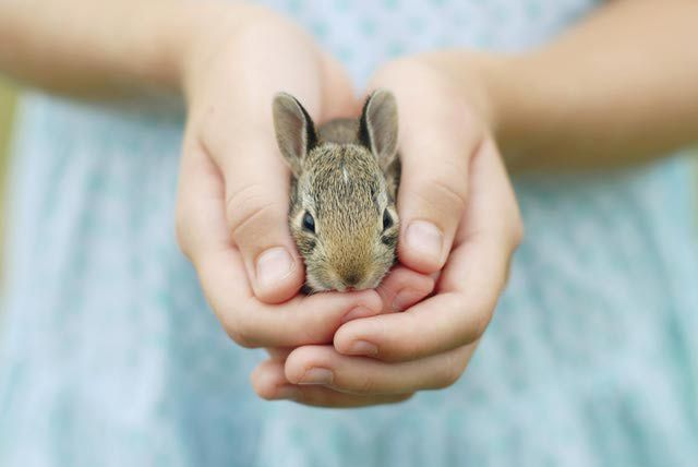 Rabbit Care Guide - A guide to pet rabbits, including making the decision if a pet rabbit is right for you, choosing a healthy rabbit, and the proper care of a pet rabbit.