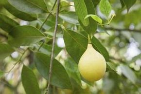 How to Grow a Nutmeg Tree from Seed thumbnail