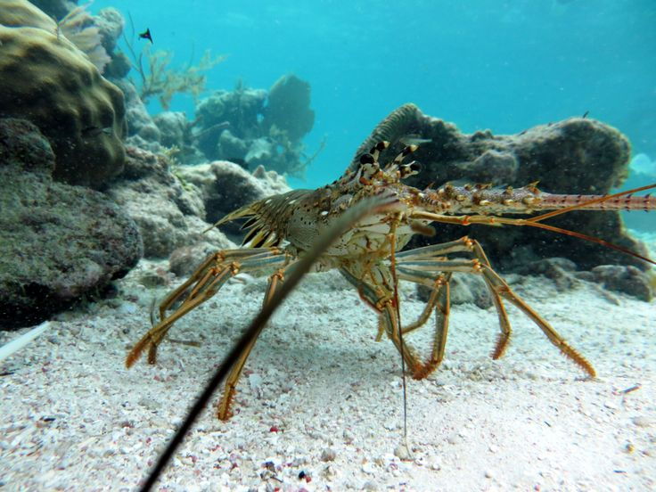 Lobster - Yum! However it isn't lobster season and this one sensibly lives in a marine reserve