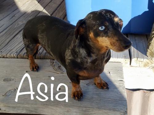 Asia ~ mini dapple 04/30/2017 Dachshund Rescue of Los Angeles