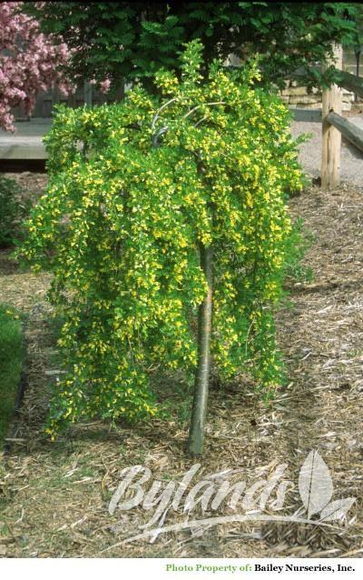 Weeping caragana caragana arborescens 39 pendula for Small ornamental weeping trees