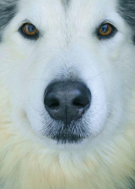 Tugg the Alaskan Malamute, by Allison Branson