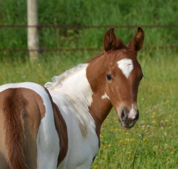 paint horse filly for sale in France