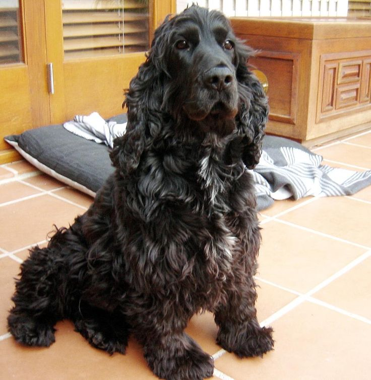 The Cocker Spaniel dates back as far as the 14th century. The breed originated from the English Cocker Spaniels which had been brought for the Usa.