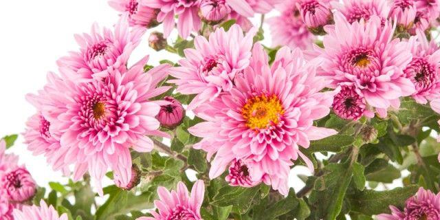 Crisantemi pronti a fiorire in anticipo