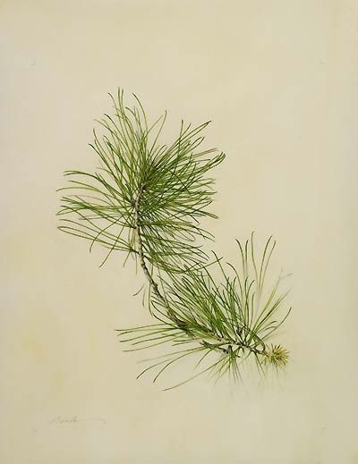 Pinus koraiensis | Flickr - Photo Sharing!