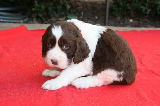 Litter of 7 English Springer Spaniel puppies for sale in