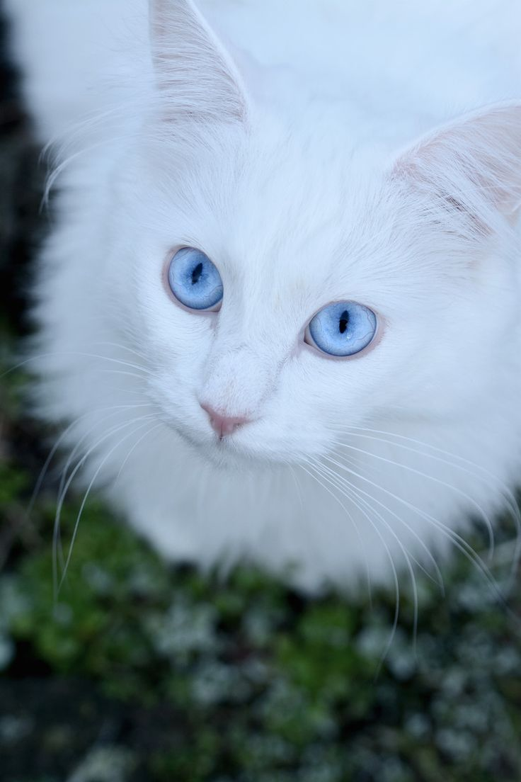 White Cats With Blue Eyes In Snow - 65.7KB