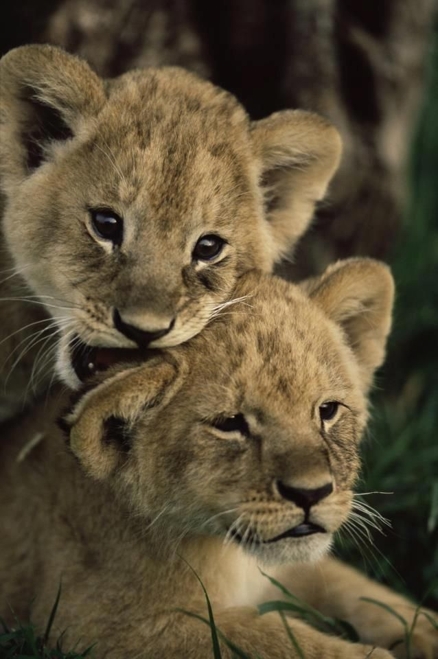 8k Animal Wallpaper Download: 13 Best Images About Lioness And Cubs Tattoo Inspiration